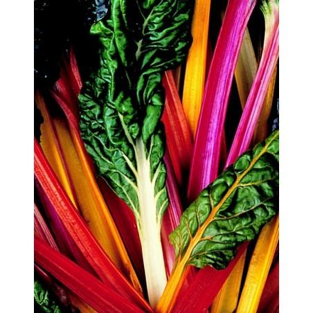Acelgas Multicolor