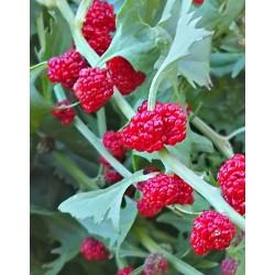 Palillos de Fresa Chenopodium foliosum