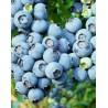 Arandano Azul Norteño o Northern Highbush Blueberry (Vaccinium corymbosum septentrionalis)