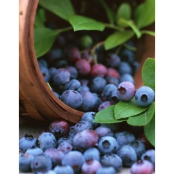 Arandano Azul Mezcla (Highbush Blueberry Mix)