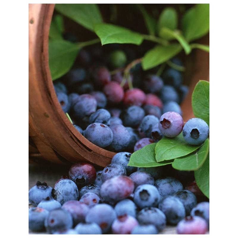 Arandano Azul Mezcla (Highbush Blueberry Mix)