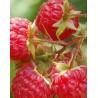 Frambuesa Roja (Rubus Idaeus)