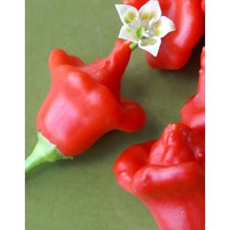Pimiento Chili Campanilla (Capsicum bacatum var. pendulum)