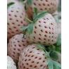 Fresas Blancas o Pineberry (20 Semillas)