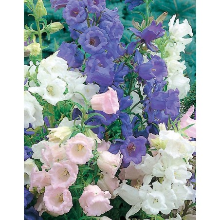 Campanilla de Canterbury (Campanula medium) Mix