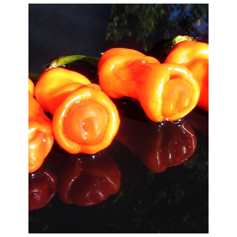 Pimiento Peter (Pimiento Erótico o Pimiento Pene) Naranja