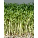Berro de Jardín (Lepidium sativum)
