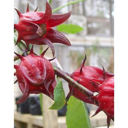 Flor de Jamaica (Hibiscus sabdariffa)