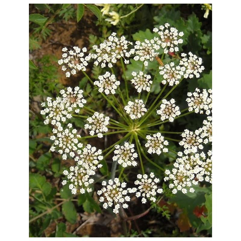 Anis (Pimpinella anisum L.)