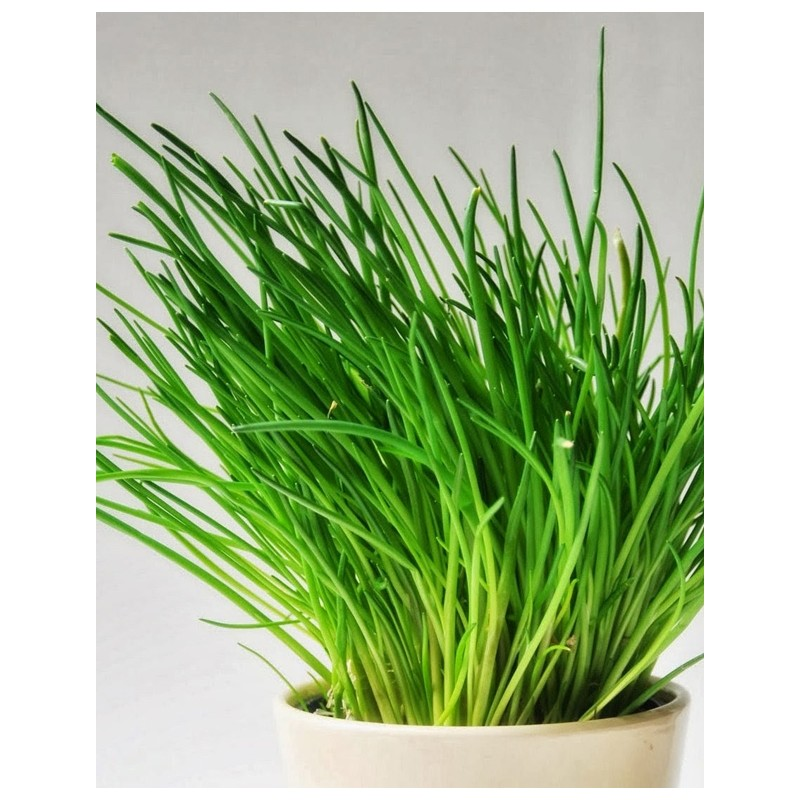 Cebollino Anual (Allium schoenoprasum)