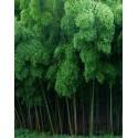 Bambú Gigante Moso