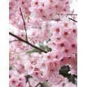 Cerezo Japonés o Sakura Rojo