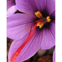 Crocus sativus o Azafrán - Castilla la Mancha Clase A (5 Bulbos)