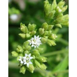 Stevia (200 semillas)