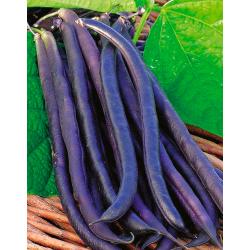 Judía enana violeta Amethyst