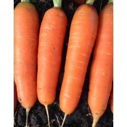 Zanahoria Nantesa Toro