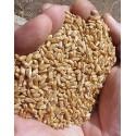 Trigo para hierba de trigo - calidad R1
