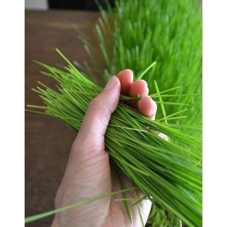 Semillas ecológicas para hierba de trigo